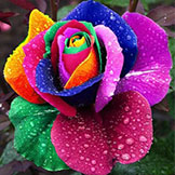 Mix $5 Seeds Rare Holland Rainbow Rose Flower Home Garden Rare Rainbow Rose Flower Seeds